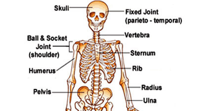 Skeletal System Facts