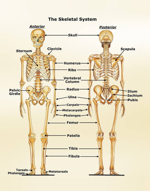 the human skeletal system, Human Body